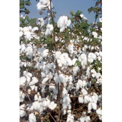 Cotton Seeds Ajeet 155 BG-2