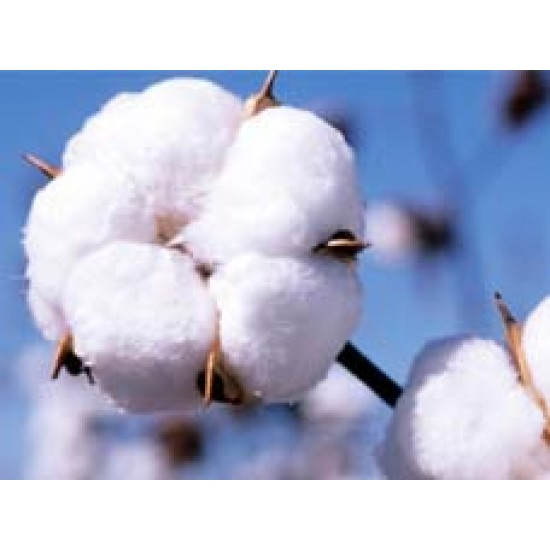 Cotton Seeds Ankur 3244 BG-2