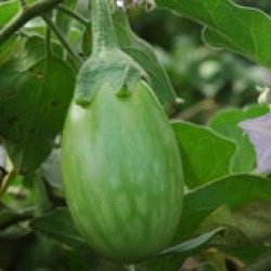 Ankur Hybrid brinjal-Kirti (10g) Vegetable Seeds