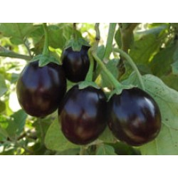 Ankur Hybrid brinjal-Utkarsha (10g) Vegetable Seeds