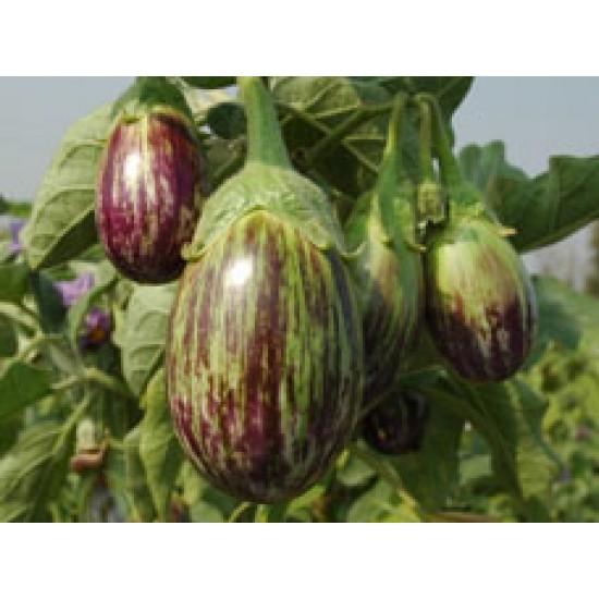 Ankur Hybrid brinjal-Vijay (10g) Vegetable Seeds