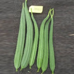 Ankur Hybrid ridge gourd-Latika (10g) vegetable seeds