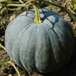 Ankur Hybrid Pumpkin– Pepo(116) (50gm) Vegetable Seeds