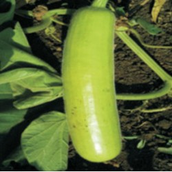 INDO-US 117 F1 HY BOTTLE GOURD