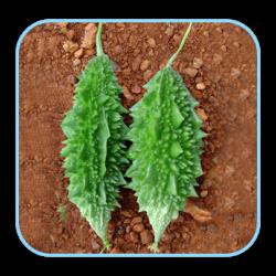 Sungro Hybrid bitter gourd Nanha (10g) Vegetable Seeds