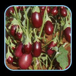 Sungro  Hybrid Brinjal Pragati (10g) Vegetable Seeds