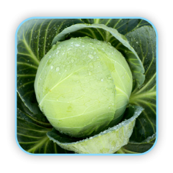 Sungro Hybrid cabbage S-92 vegetable Seeds