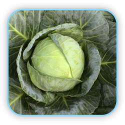 Sungro  Hybrid cabbage  S-996 (10g) vegetable Seeds