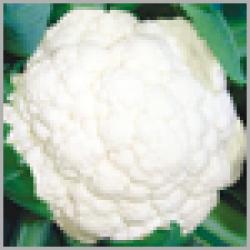 sungro Hybrid Cauliflower 497 (10g) vegetable Seeds