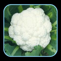 Sungro Hybrid Cauliflower  S-110 vegetable Seeds