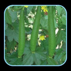 sungro Hybrid Spong gours vegetable Seeds  Nutan(10g)