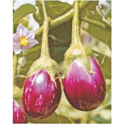 Nirmal Hybrid BrinJal Vegetable Seeds NBH-1300 -10 GRM