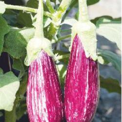 Nirmal Hybrid Bringal Vegetable Seeds NBH-1210 -10 GRM