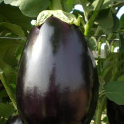 VNR Hybrid Brinjal Vegetable Seeds F1 Poonam -10 GRM